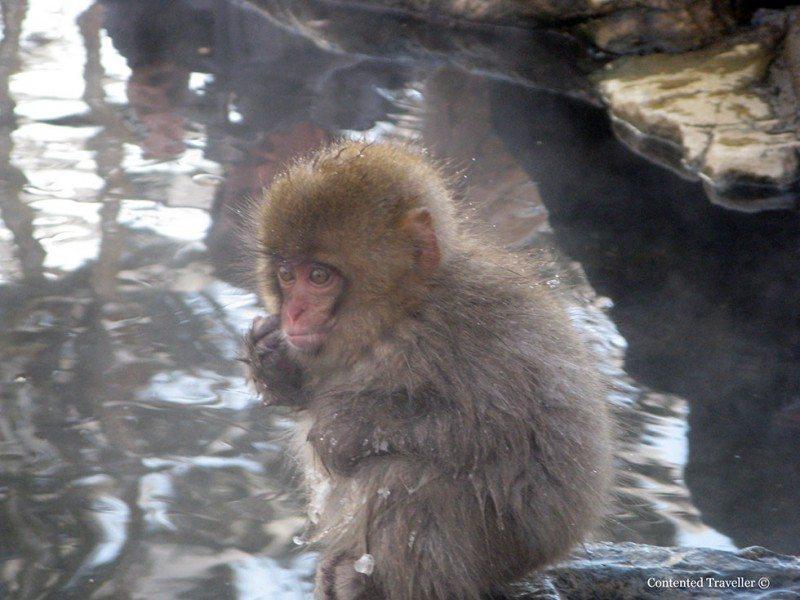 The Snow Monkeys of Japan