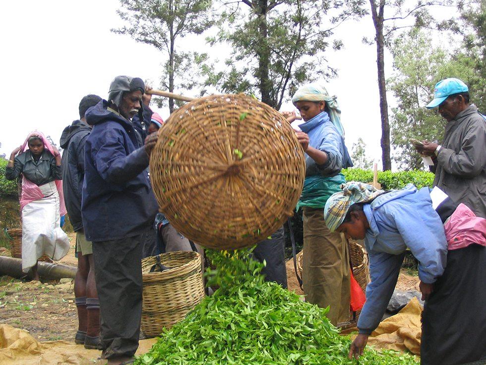 The tea growing plantations of Nuwara Eliya Sri Lanka – a study in contradictions.