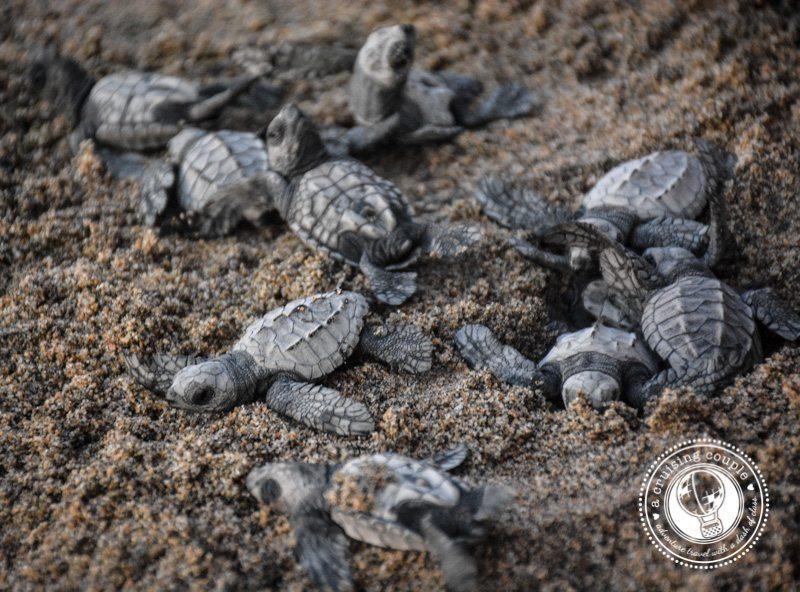 San-Pancho-turtles