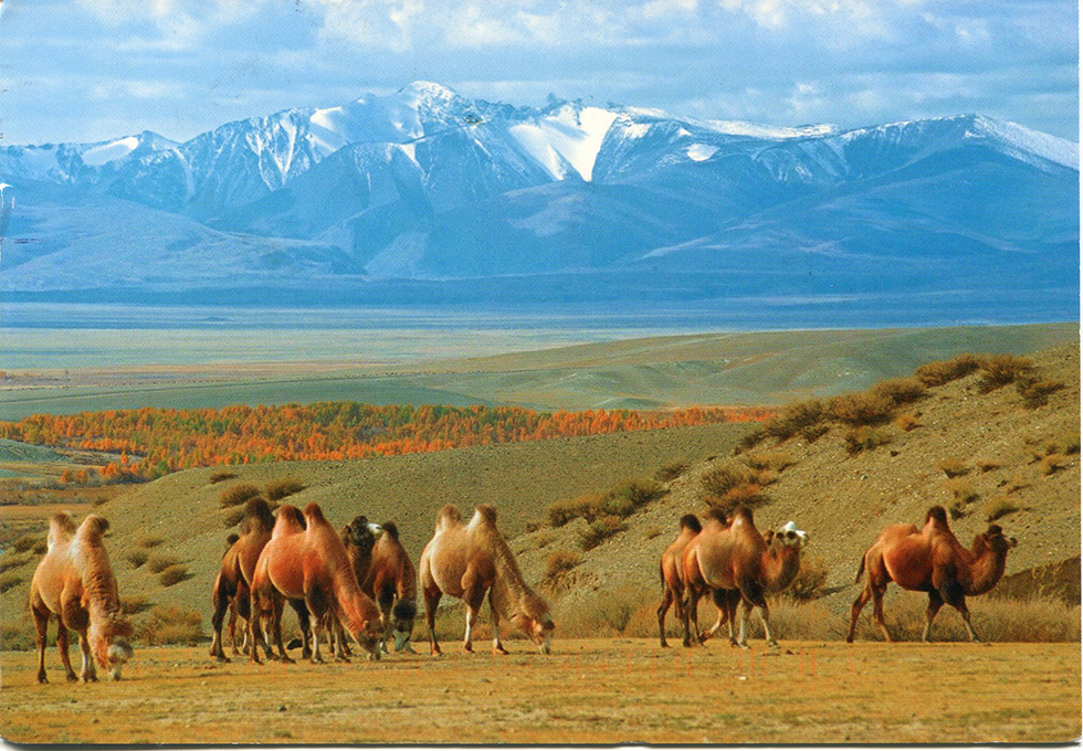 russia-camels-in-the-chuya-steppe