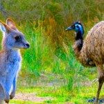 kangaroo and emu