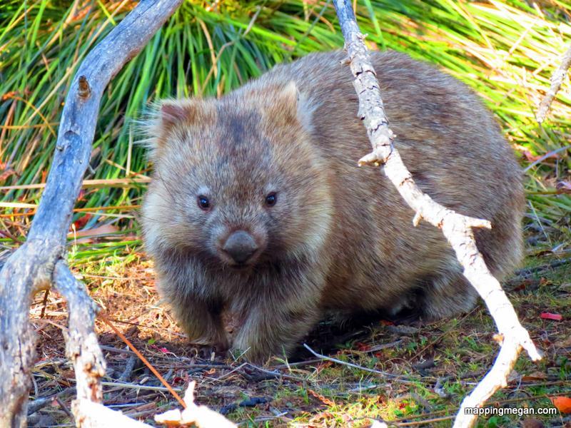 wombat in canberra