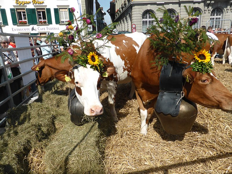 The crowning of the prettiest cow in Bern, Switzerland