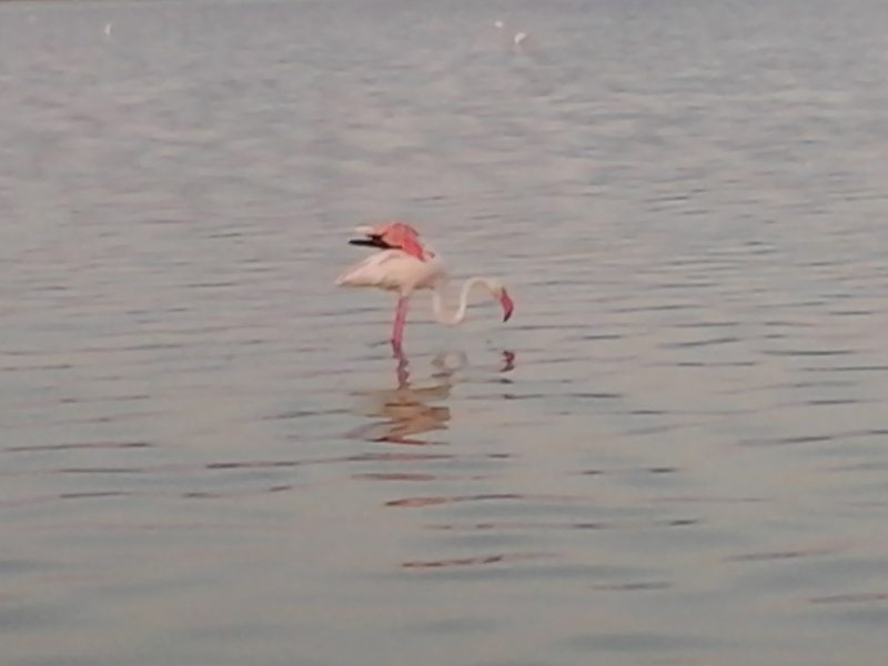 pink flamingoes at Molentargius park