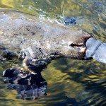 platypus-tasmania