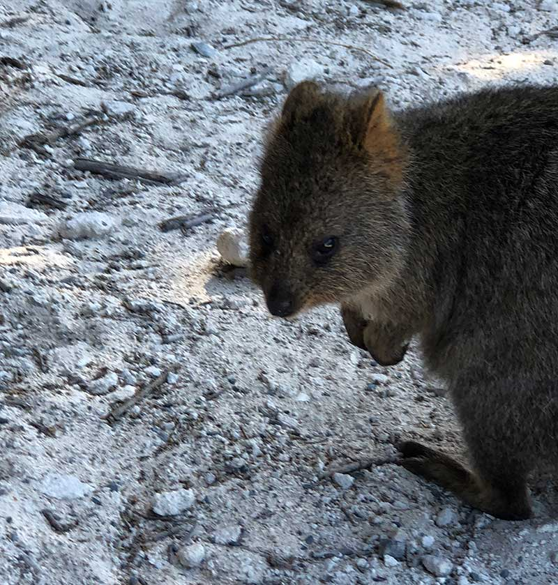 Visit Rottnest Island to see the quokkas