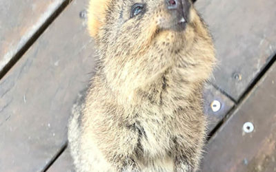 Visit Rottnest Island to see the quokkas, the 'happiest animal in the world'.